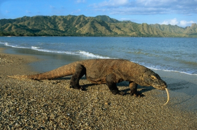 Komodo Dragon Walking on Beach on Komodo Island